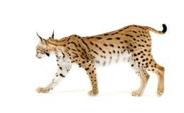 2 лет lynx Стоковое Фото