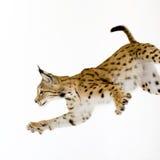2 лет lynx Стоковые Фотографии RF