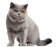 2 лет shorthair великобританских кота старых Стоковые Изображения