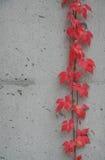 2 листь красного Стоковые Изображения
