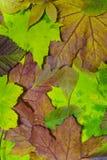 2 листь осени Стоковые Изображения RF