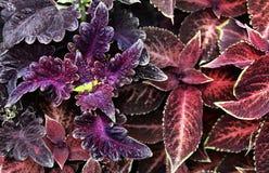 2 листь предпосылки красного Стоковое Изображение