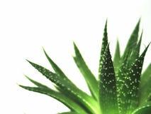 2 листь vera алоэ Стоковое фото RF