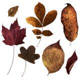 2 листь virginia стоковые изображения