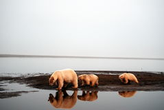 2 медведя приполюсного Стоковые Фото