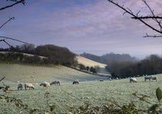 2 морозных овцы стоковое фото