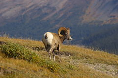 2 овцы горы утесистых Стоковые Фотографии RF