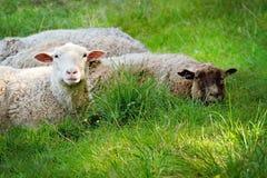 2 овцы лежа на зеленой траве Стоковое Изображение RF