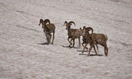 2 овцы bighorn Стоковые Изображения RF