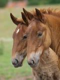 2 ослят лошади пунша суффолька Стоковые Фотографии RF