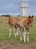 2 ослят лошади суффолька Стоковое Изображение RF