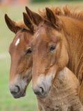 2 ослят лошади суффолька Стоковое фото RF