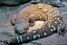 2 отбортованная ящерица Стоковая Фотография