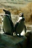 2 пингвина Стоковая Фотография RF