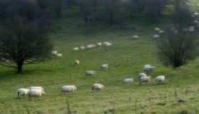 2 подсчитывая овцы стоковые фотографии rf