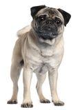 2 половинных старых лет pug Стоковое фото RF