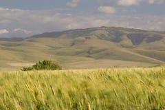2 поля приближают к пшенице pendleton Стоковая Фотография