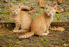 2 померанцовых котят Стоковая Фотография