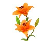 2 померанцовых lillies Стоковое Изображение RF