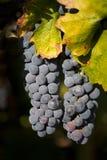 2 пука висеть виноградин вина Стоковое Изображение RF