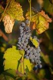 2 пука красного цвета виноградины Стоковое Изображение RF