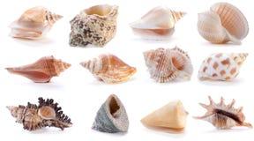 2 различных раковины моря Стоковая Фотография
