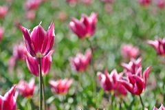 2 розовых тюльпана Стоковое фото RF