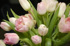 2 розовых тюльпана Стоковое Изображение RF
