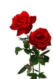 2 розы стоковые изображения rf