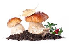 2 свежих гриба porcini Стоковые Изображения RF