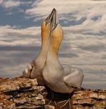 2 северное Gannets Стоковое Фото