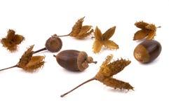 2 семени бука жолудя Стоковое Фото