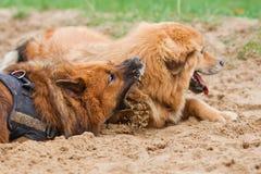 2 собаки Elo лежа в песке Стоковые Фото