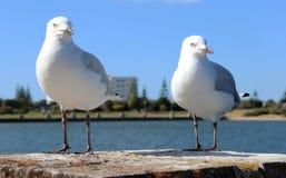 2 содружественных белых чайки стоя на штендере кирпича лиманом Стоковое Изображение