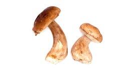 2 сырцовых гриба porcini Стоковое Изображение