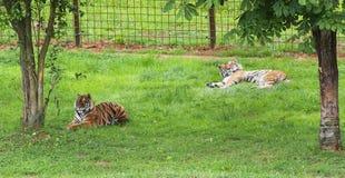 2 тигра отдыхая в тени, Cabarceno, Испании Стоковое Изображение RF