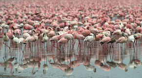 2 фламингоа стоковое фото rf