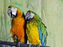 2 цветастых попыгая Macaw стоковые изображения rf