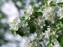 2 цветения яблока закрывают вверх Стоковая Фотография RF