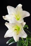 2 цветка белых лилии на черноте Стоковые Фото