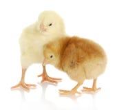 2 цыпленока младенца Стоковое Фото