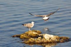 2 чайки в ювенильном plumage стоковое изображение