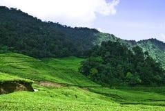 2 чая плантации стоковые изображения rf