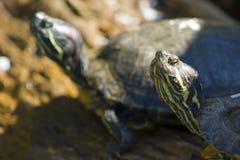 2 черепахи Стоковое Изображение RF