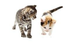 2 шаловливых котят Стоковые Изображения