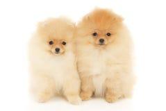 2 щенят Spitz Pomeranian Стоковое Фото