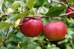 2 яблока Стоковые Фото