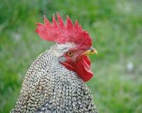 2 ярда цыплятины Стоковые Фотографии RF