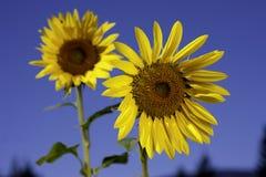 2 ярких желтых солнцецвета. Стоковые Изображения