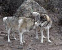2头狼 免版税库存照片